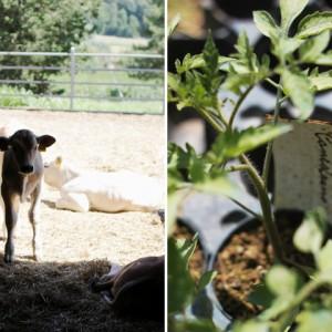gallery 9 chianina farm