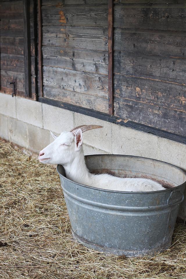 Podere il Casale goat in a tub