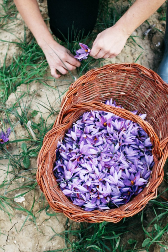 saffron harvest in San Gimignano