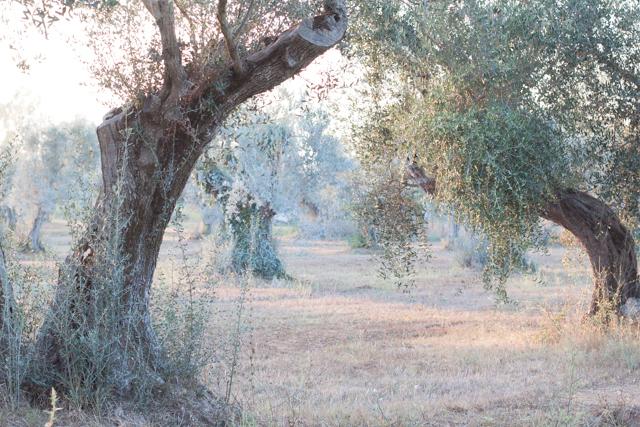 olive trees maremma