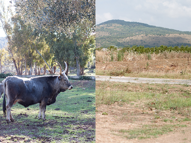 maremman cattle