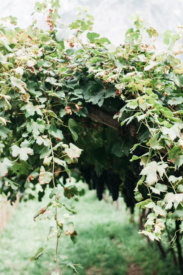 Trento pergolata Foradori winery