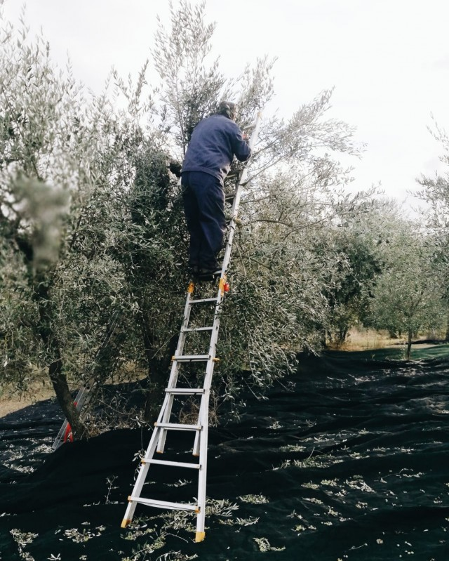 olive harvest in Tuscany