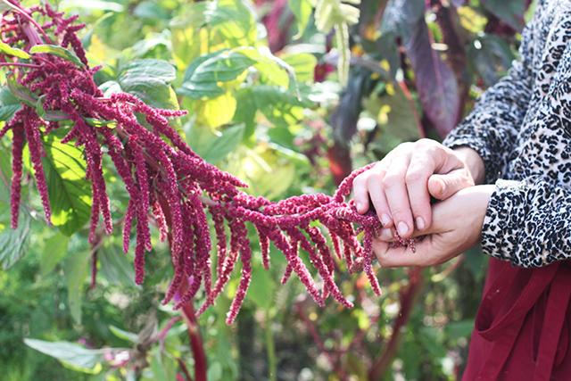 Puscina amaranth flowers