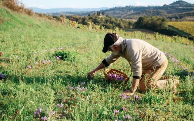 saffron picking
