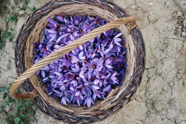 saffron crocus flowers