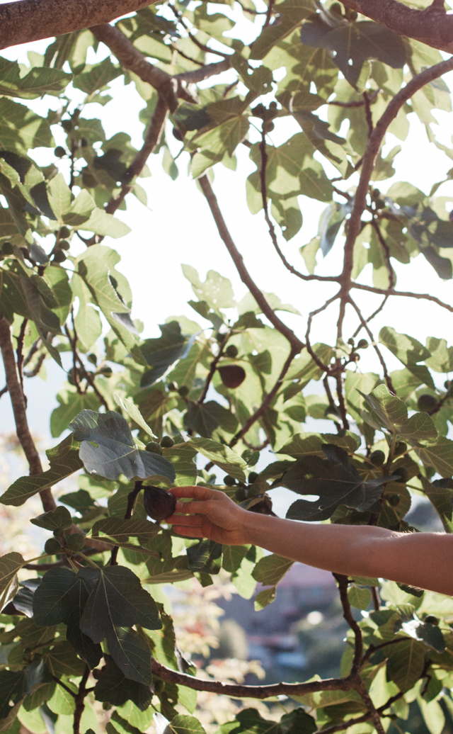 fig picking maremma