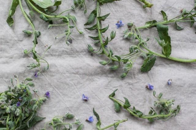 borage wild herbs
