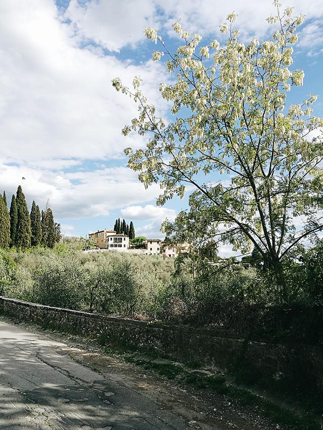 settignano-black-locust-tree