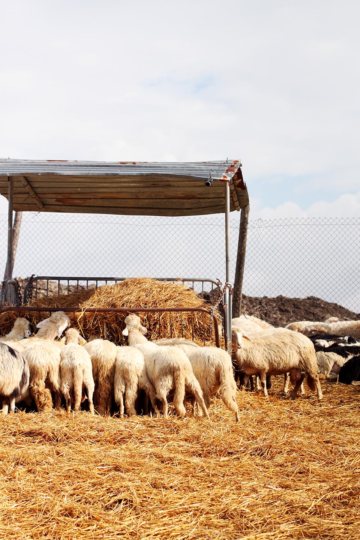 sheep at Podere Il Casale